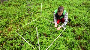 Forskningsingenjör Kaija Puputti räknar blåbären på en av provytorna i Solböle forskningsskog i Bromarv.