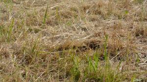 Torrt och gulnat gräs.