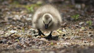 Fotografi, Närbild på en liten dunig gåsunge som kommer gående mot  kameralinsen.