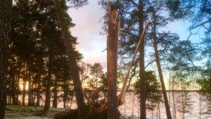 Träd som fällts av stormen längs stranden i Vasa.