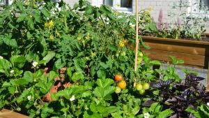 En odlingsbänk med jordgubbar och tomater.