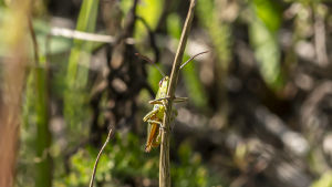 Gräshoppa sitter på grässtrå.