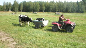 Nyfödd kalv ut och kör. Kalven fick namnet Albin. Foto Håkan Back