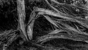 """Träd i naturreservatet """"Westruper Heide"""" i Tyskland."""