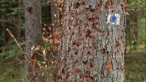 Granbarkborrar har borrat hål i ett träd