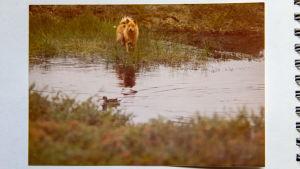 Kuva valokuva-albumissa. Kuvassa koira seisoo suolammen rannalla ja katsoo uivaa vesilintua. Koiran takana näkyy palsakumpare.
