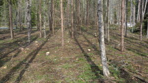 Vy över gallrad skog.