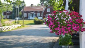 rosa blommor i ampel med Strömfors bruket i bakgrunden