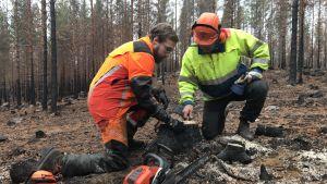 Två skogsarbetare med skyddsutrustning inspekterar en stubbe i en brandhärjad skog.