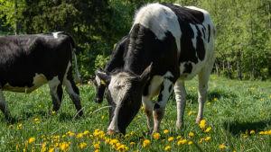 Lehmä syö heinää kukkaniityllä