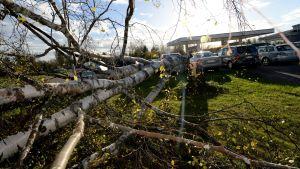 Träd som fallit i Ylivieska under stormen Valio.