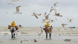 Räkfiskare som fiskar räkor från hästryggen i belgiska Oostduinkerke