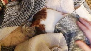 En katt ligger nerbäddad under filtar och har en vattenflaska bredvid sig.