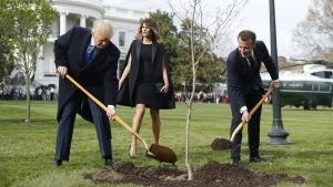 Presidenterna Trump och Macron planterar ett träd i Vita husets trädgård.