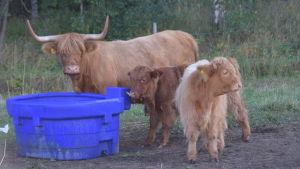En större långhårig ko och två mindre kor står vid en vattentunna.