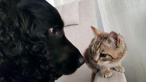 En hund nosar på en kattunge.
