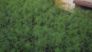 Små plantor av fänkål i i små svarta krukor i växthus. påminner mest om dill.