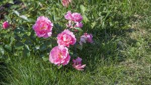 Rosor i Rosenparken i Borgå