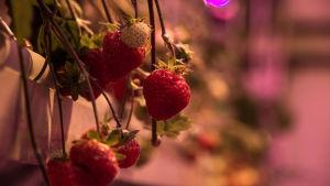 Jordgubbar mognar i växthuset