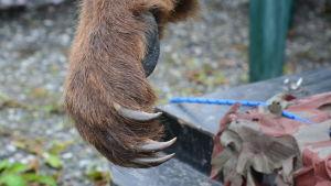 Björntass med långa klor.