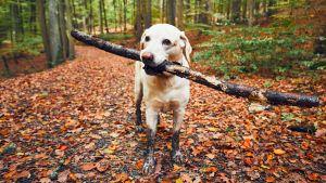 En labrador i skogen med en gren i munnen