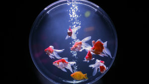 Flere guldfiskar simmar i ett akvarium