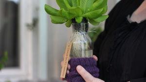 Sallad växer i en glasflaska.