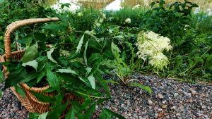 En korg fylld med gröna växter med vita blommor.