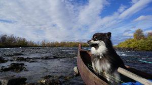 Äijä-koira veneessä.