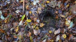 Spår efter djur i våt mark.