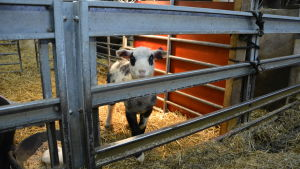 Ett lamm i inhängnad inomhus.