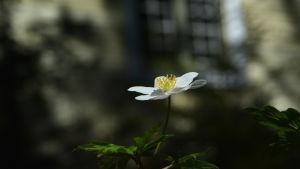 Vitsippan blommar vid Nelins villa.