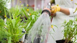 Vattnar växter i växthus med vattenslang.