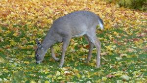 En hjort (unge) äter löv och gräs på en gräsmatta. Gula löv. Höst.
