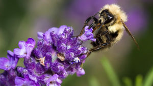 Närbild på en lurvig humla som suger nektar från en lavendel.