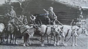 Samer och renar på väg till Hagenbeck zoo i Tyskland, ca 1910.