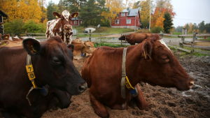 lehmät makoilevat ulkotarhassa