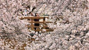 En kvinna tar en bild å körsbärsträd som blommar med sin telefon på en bro i Tokyo.