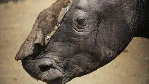 En noshörning som räddats efter att ha förlorat sina horn till tjuvjägare.