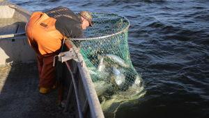 Fiskare fångar lax med ryssja i Finska viken.