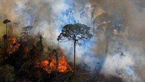 Amazonas regnskog som brinner.