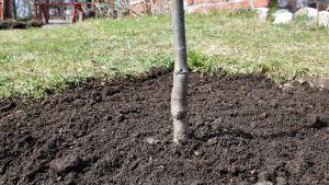 Bucklig stam av ungt äppelträd
