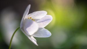 valkovuokko kevät