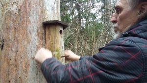 En fågelholk uppsatt på en ihålig trädstam. Man ser lite av en man som  hänger upp holken.