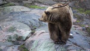 En björn på en klippa