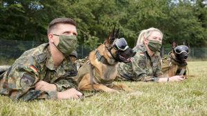 Bombhundar lär sig lukta sig till covid-19 i Tyskland.