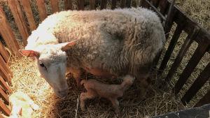 Ett får ammar sitt nyfödda lamm.