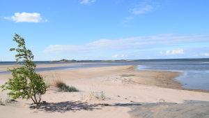 En bild på en strand med lågt vatten. Stranden är en sandstrand och vid sidan av stranden finns en vindpinad björk.