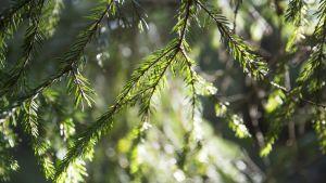 Kuusenohavut siivilöivät valoa metsässä ja neulaset hohtavat valossa.