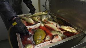 En stor diskho fylld med vatten, fisk och blod. I diskhon ligger bland annat gäddor och sutare.